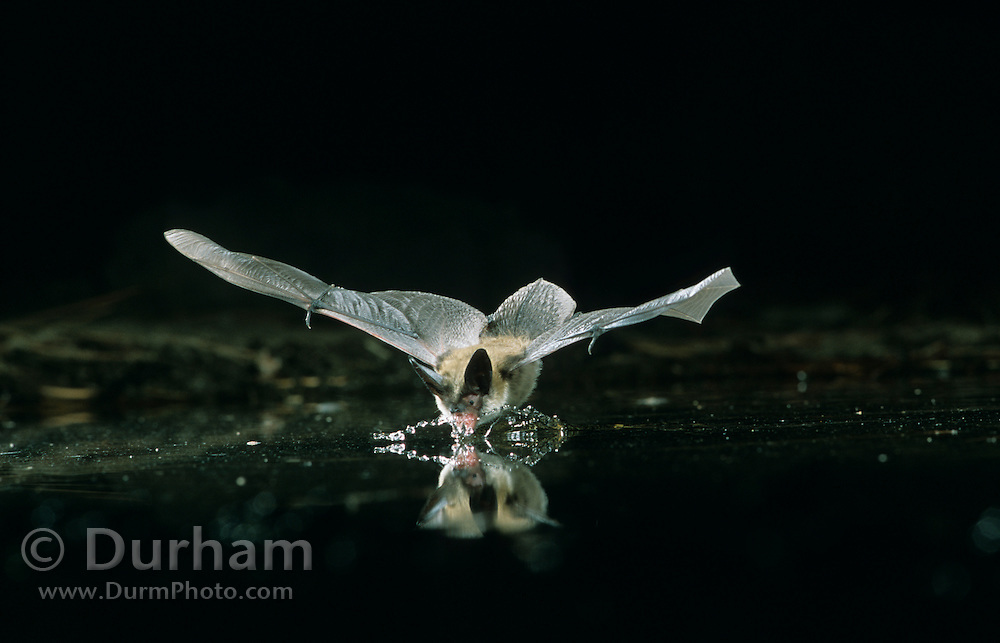 A western long-eared myotis (Myotis evotis) scoops up water while flying. High-desert in Central Oregon, Dechutes National Forest.