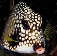 trunk fish lips in Bonaire