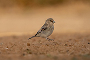 Desert Finch (Rhodospiza obsoleta Previously Carduelis obsoleta) near a puddle of water in the Negev desert, israel. The bird is indeed a desert resident in areas where water is readily available, but it can also be found in low mountains and foothills, and in cultivated valleys. It feeds on seeds and the occasional insect. Nesting occurs in trees in the spring, often in fruit trees in orchards, and the female lays and incubates 4 to 6 pale green, lightly speckled eggs. Photographed in Israel in May