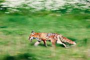 Red fox walking through grass