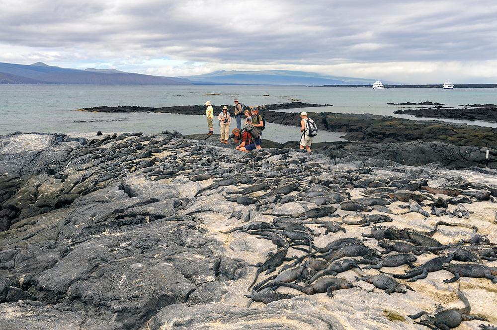 Tourists watching marine iguanas (Amblyrhynchus cristatus) at Punta Espinisa, Fernandina, Galapagos.