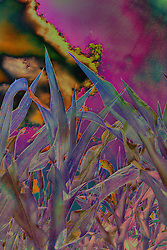 An abstracted view from the middle of a corn field with deep purples and polarized outlines
