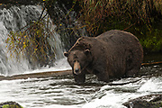 The dominant male adult Brown Bear known as 747, watches for Sockeye Salmon in the far pool at Brooks Falls in Katmai National Park and Preserve September 15, 2019 near King Salmon, Alaska. The park spans the worlds largest salmon run with nearly 62 million salmon migrating through the streams which feeds some of the largest bears in the world.