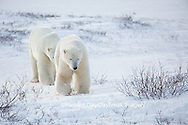 01874-13410 Polar Bears (Ursus maritimus) Churchill Wildlife Management Area, Churchill, MB