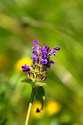 Wildflower Self Heal, Prunella vulgaris, in  garden in The Cotswolds, England, United Kingdom