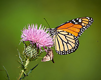 Monarch Butterfly on a Thistle Flower. Image taken with a Fuji X-T1 camera and 100-400 mm OIS lens (ISO 200, 400 mm, f/5.6, 1/600 sec).