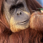 Orangutan (Pongo pygmaeus) portrait of a young male.  Captive Animal.