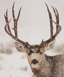 Big Buck, Mule Deer, Snowstorm, Jackson Hole, Wyoming