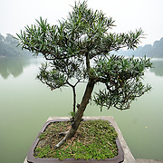 Bonsai at the Temple of the Jade Mountain (Ngoc Son Temple) on Hoan Kiem Lake in the heart of Hanoi's Old Quarter. The temple was established on the small Jade Island near the northern shore of the lake in the 18th century and is in honor of the 13-century military leader Tran Hung Dao.