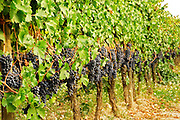 Grenache vines with ripe bunches of grapes in the vineyards of Albet i Noya in Penedes near Barcelona. Penedes Catalonia Catalunya Spain Europe