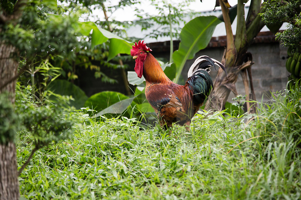 Rooster wanders around Long Viet private park in Ba Vi, Vietnam, Southeast Asia