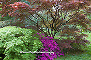 65021-03613 Japanese maples and pink Azalea (Rhododendron sp')  MO Botanical Gardens, St Louis, MO