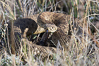 Prairie rattlesnake in Grasslands National Park.