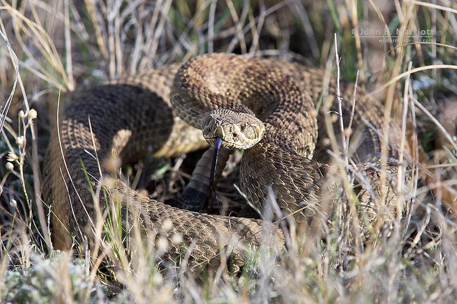 Prairie rattlesnake in Grasslands National Park.