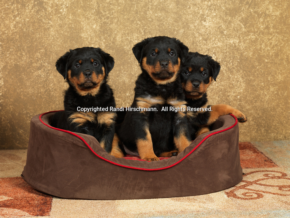 Rottweilers, AKC, 8-week-old puppies photographed at Randi's Studio and owned by Cheri Hagen of Wasilla, Alaska.  (PR)