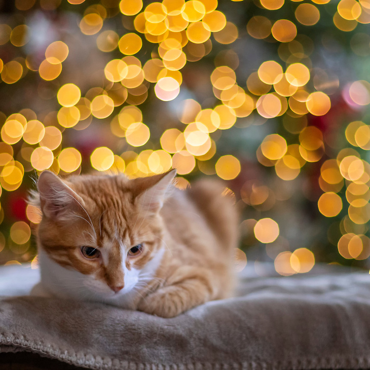 Our Kitten Darth at 5 Months Old On A Blanket In Front Of The Christmas Tree.