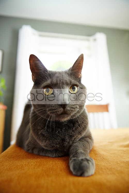 Portrait of Russian Blue Cat