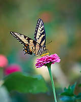 Eastern Tiger Swallowtail Butterfly. Image taken with a Nikon D810a camera and 70-300 mm VR lens.