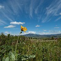 An Arrowleaf Balsamroot (Balsamorhiza sagittata) plant flowers in Montana's Gallatin Valley.  Behind are the Bridger Mountains.