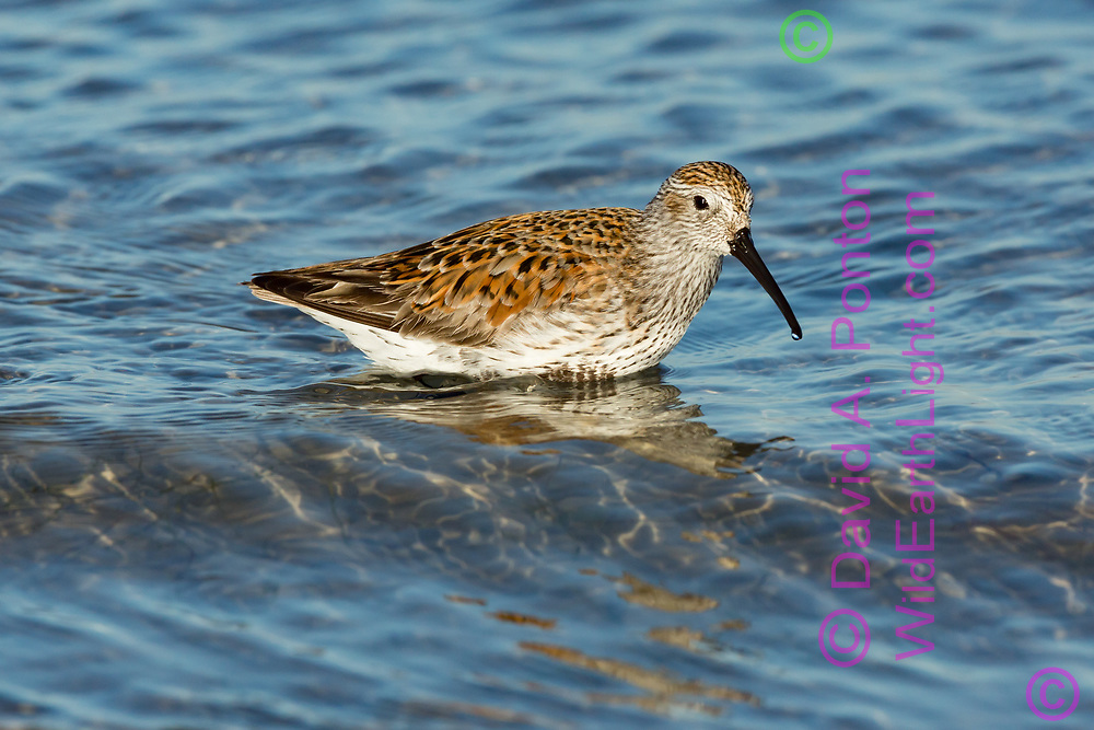 Dunlin wading shallow clear water at the edge of a bay looking for prey. Gulf Coast, Florida