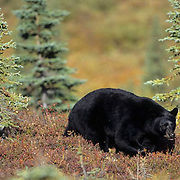 Black Bear, (Ursus americanus) On tundra. Denali National Park. Alaska.