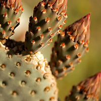 USA, California, San Diego County. Beavertail Cactus ready to bloom in Anza-Borrego Desert State Park.