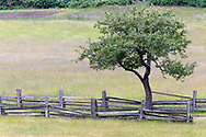 An apple tree from the old orchard (now mostly removed) on the Ruckle Farm. Photographed in Ruckle Provincial Park on Saltspring Island, British Columbia, Canada.
