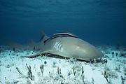 nurse shark, Ginglymostoma cirratum, resting on bottom with remora or sharksucker attached, Bimini, Bahamas ( Western Atlantic Ocean )