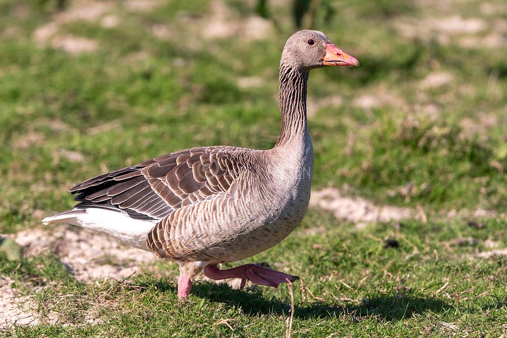 Greylag goose (Anser anser) from Vejlerne, northern Denmark.