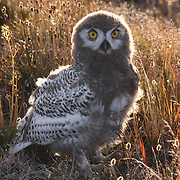 Snowy Owl (Bubo scandiacus) chick, almost to the fledgling stage, in cotton grass. Barrow, Alaska