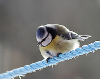 The Blue Tit, Cyanistes caeruleus, is a 10.5 to 12 cm (4.2 to 4.8 inches,) long passerine bird in the tit family Paridae. It is a widespread and common resident breeder throughout temperate and subarctic Europe and western Asia in deciduous or mixed woodlands. It is a resident bird, i.e., most birds do not migrate.