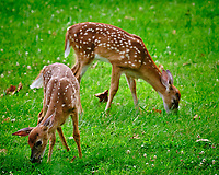 Pair of Fawns eating grass. Image taken with a Fuji X-T3 camera and 200 mm f/2 OIS lens with 1.4x teleconverter