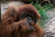 Orangutan Pongo pygmaeu