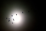 Snow geese in flight on a foggy morning at sunrise - Mississippi