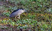 Black-crowned night heron (Nycticorax nycticorax) from Pantanal, Brazil.