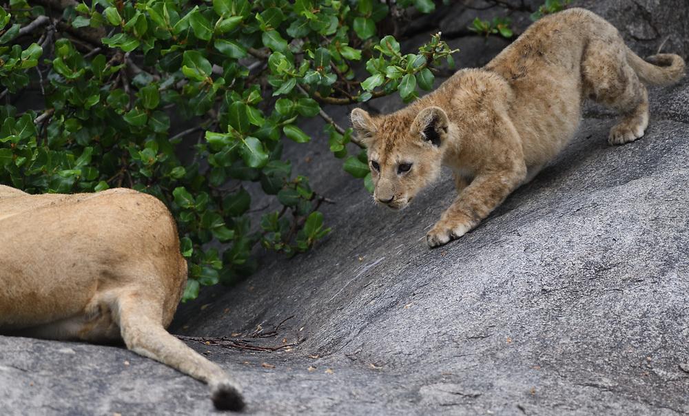 A young lion cub (Panthera leo) cautiously descends a steep rock towards its mother. Serengeti National Park, Tanzania.