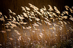 Reeds blowing in a breeze, North Norfolk Coast, England, UK.