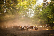 Gauchos herd Hereford cattle, Estancia Huechahue, Patagonia, Argentina, South America