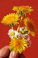 Bunch of dandelions and daisies flowers being picked in the late spring