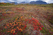 The red leaves of the alpine bearberry, mountain bearberry, or black bearberry, Arctostaphylos or Arctuo alpinus, Abisko National Park, Norrbotten, Lapland, Sweden
