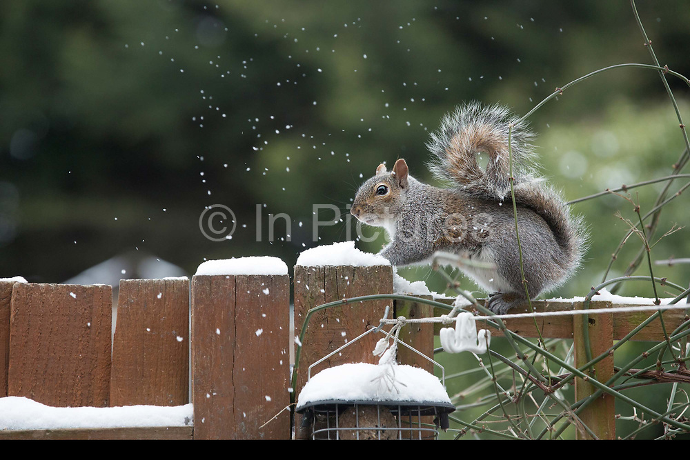A grey squirrel on a garden fence, looking for food, following recent snow on 18th March 2018 in West Norwood in South London, United Kingdom.