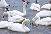 Group of Whooper Swan, Cygnus cygnus, at Welney Wetland Centre, Norfolk, UK