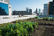 Nederland, Rotterdam, 9 maart 2014<br /> Stadslandbouw. Op het dak van een flat vlakbij het Hofplein is een groentetuin aangelegd. De gekweekte groente worden in een restaurant gebruikt.<br /> <br /> Foto(c): Michiel Wijnbergh