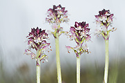 Burnt-tip orchids (Neotinea ustulata). East Sussex, UK.