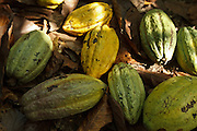 Harvested cocoa pods on a cocoa plantation near the town of Moussadougou, Bas-Sassandra region, Cote d'Ivoire on Monday March 5, 2012.