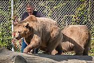 Otisville, New York - Bears at the Orphaned Wildlife Center on Sept. 7, 2016.
