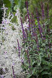 Salvia nemorosa 'Caradonna'. The Husqvarna Garden. RHS Chelsea Flower Show 2016, Designer: Charlie Albone