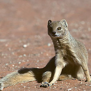Yellow Mongoose, (Cynictis penicillata) Sitting in red sand area of Kalahari Desert. Africa.