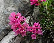 Alpenrose (Rhododendron ferrugineum) wildflowers bloom in the Alpstein limestone range, Appenzell Alps, Switzerland, Europe.