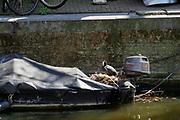 Nederland, Amsterdam, 6-5-2020  Een meerkoetje heeft haar nest gemaakt in een ongebruikte bootje met buitenboordmotor in een amsterdamse gracht langs de wallen in de oude binnenstad . Foto: Flip Franssen